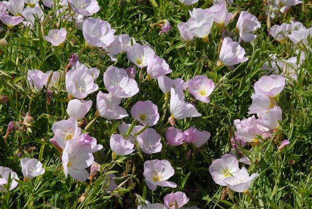 Um campo de belas flores rosa de prímula.