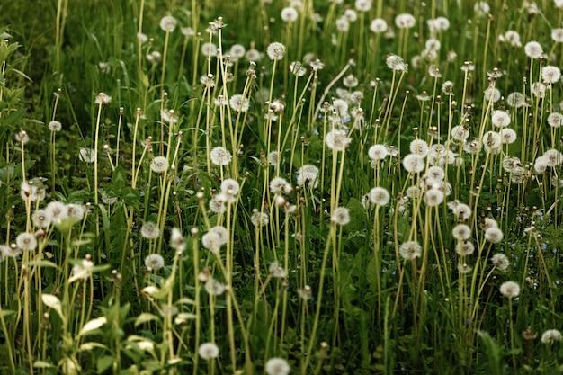 Um campo de dentes de leão. natureza paisagem do prado verde.