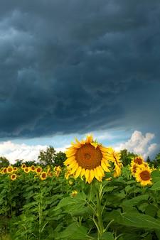 Um campo de girassóis antes da chuva. nuvens de chuva negra sobre um campo de girassóis