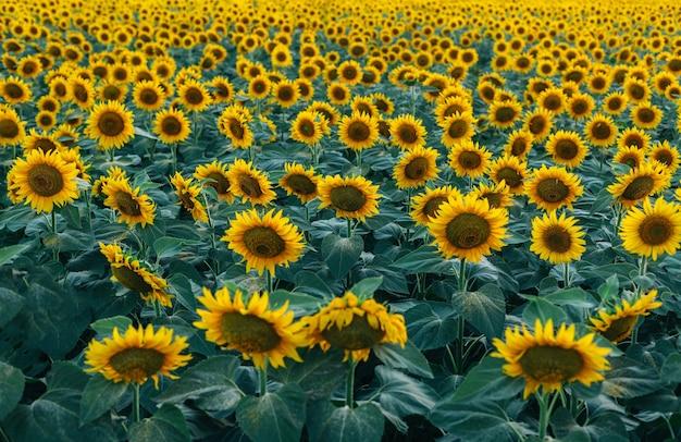 Um campo de girassóis brilhantes. muitas flores amarelas de girassol.