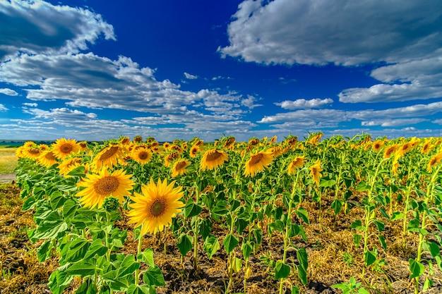 Um campo de girassóis contra um céu azul. girassóis florescendo amarelos brilhantes em um dia ensolarado de verão. cúmulos brancos no céu.