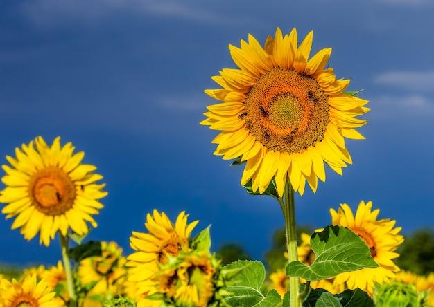 Um campo de girassóis em um dia ensolarado de verão