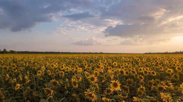 Um campo de girassol ao nascer do sol
