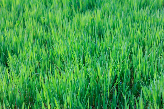 Um campo de jovens brotos verdes de cevada na primavera