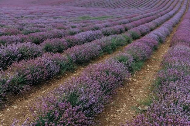 Um campo de lavanda florescendo. fundo roxo floral