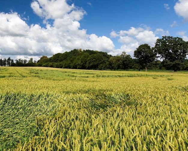 Um campo de trigo de cor verde durante o tempo nublado, uma paisagem de verão de grande produção de cereais