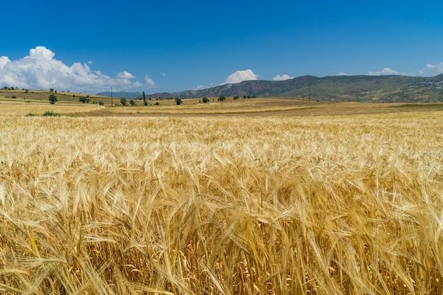 Um campo de trigo em giresun, turquia - mar negro