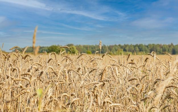 Um campo de trigo ou centeio maduro e amarelo visto de perto em um dia ensolarado