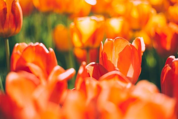 Um campo de tulipas laranja flamejantes sob os raios da luz do dia de verão