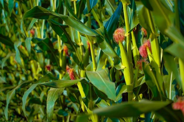 Um campo verde de milho na índia