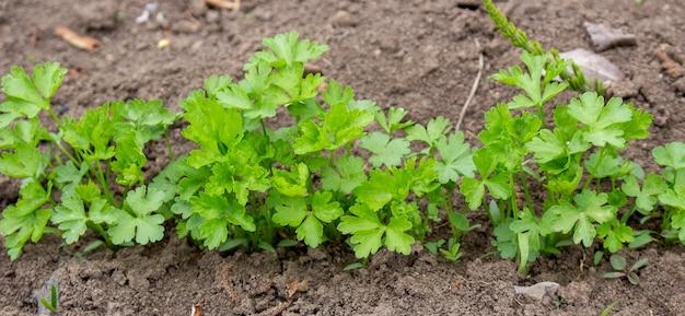 Um canteiro de salsa em um terreno cultivando em seu jardim o cultivo de ervas tempero para adicionar à comida