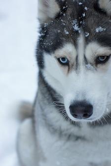 Um cão cinza da raça husky está sentado na neve no inverno, olhos de cores diferentes não olham para a moldura, há flocos de neve em seu rosto.