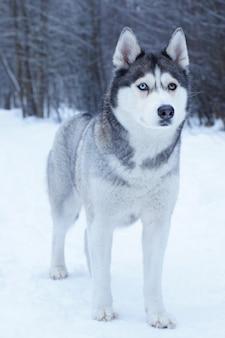 Um cão da raça husky com olhos de cores diferentes fica no parque de inverno coberto de neve.