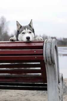 Um cão da raça husky está esperando pelo dono, sentado em um banco e descansando a cabeça.