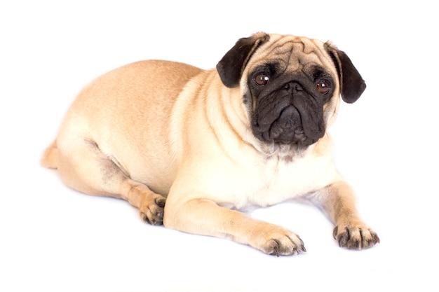 Um cão de encontro do pug que olha triste. isolado.