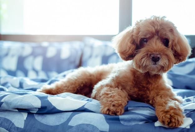 Um cão de poodle marrom adorável que relaxa com ele mesmo após acordar na manhã