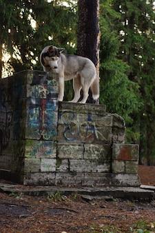 Um cão de raça husky cinza e branco fica em um banco de pedra no parque no outono.