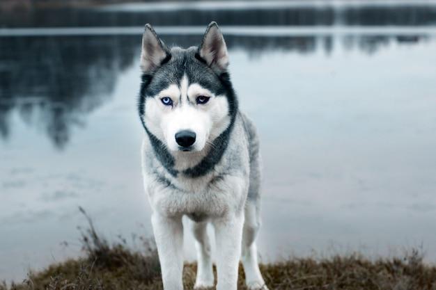Um cão de raça husky cinza fica na margem de um lago em uma manhã fria de outono.