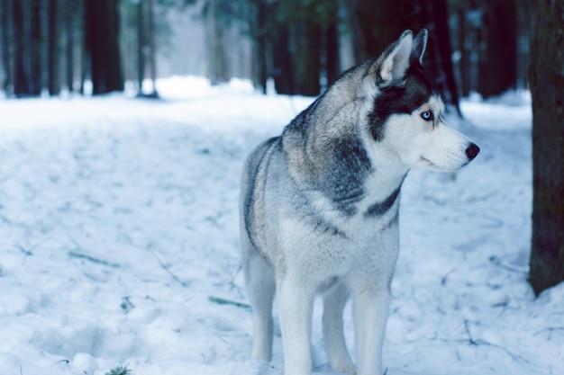 Um cão de raça husky fica na floresta no inverno e desvia o olhar.