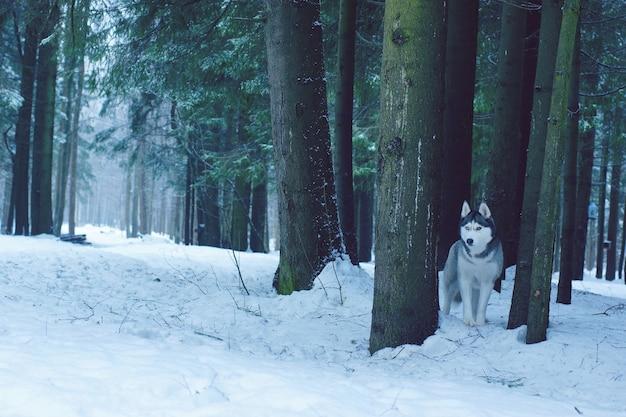Um cão de raça husky fica na floresta no inverno entre grandes troncos de abetos.