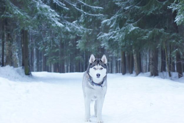 Um cão de raça husky fica na neve na floresta no inverno e olha para a câmera.