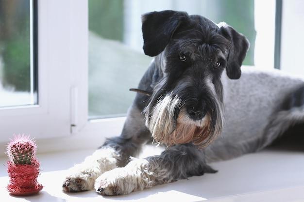 Um cão de raça pura cinza está deitado calmamente no parapeito da janela