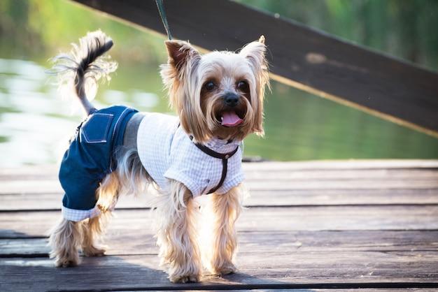 Um cão em roupas elegantes em caminhadas.