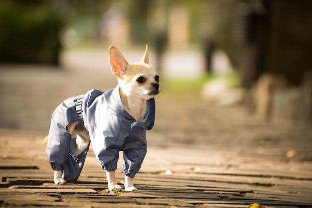 Um cão em roupas elegantes em uma caminhada