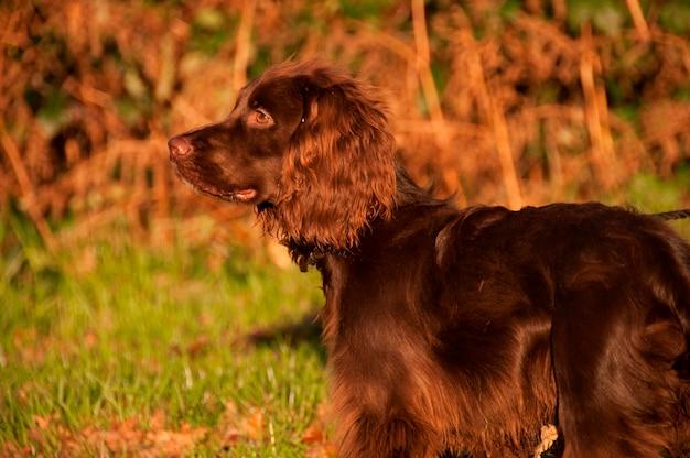 Um cão em um campo com sol dourado