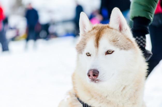 Um cão husky siberiano com olhos azuis olha em volta