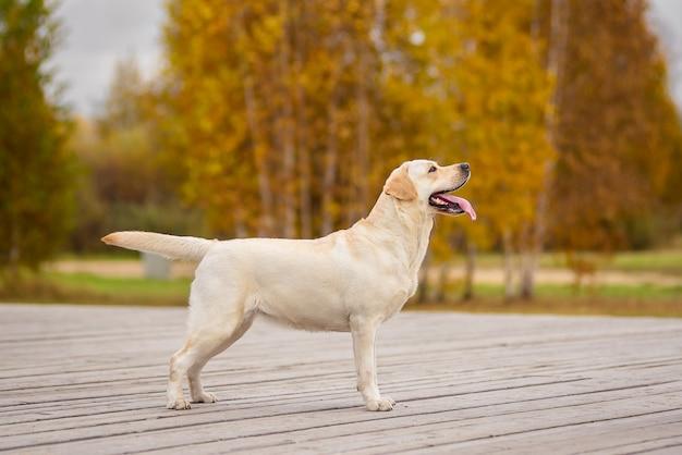 Um cão labrador corre na floresta de outono.