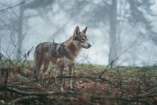 Um cão-lobo marrom e branco com olhar feroz no meio de folhas e galhos de árvores