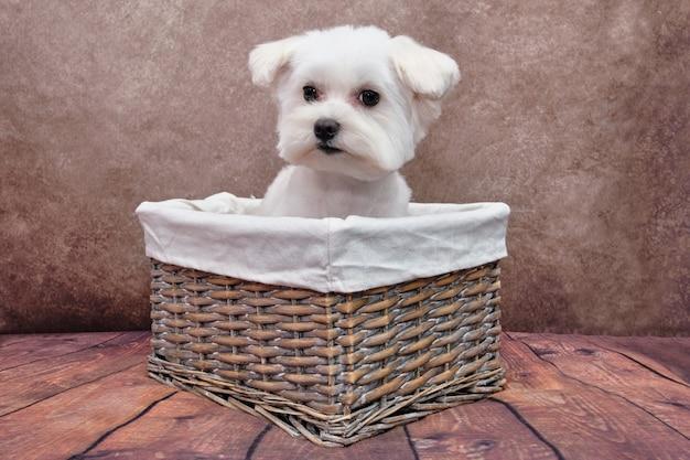 Um cão maltês está sentado em uma cesta de vime.