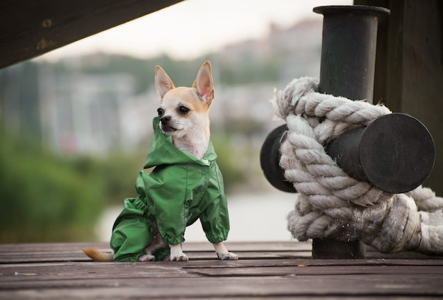 Um cão na roupa à moda do outono em uma caminhada.