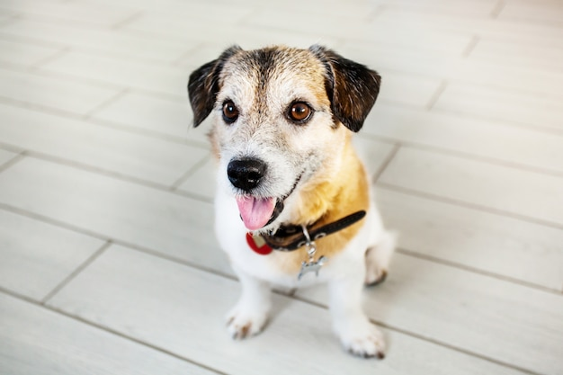 Um cão pequeno fica de pé sobre as patas traseiras, pede um tratamento, reboque, animal de estimação, casa