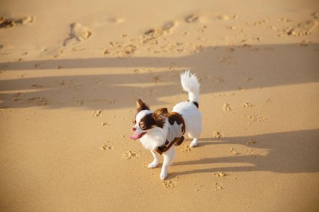Um cão pequeno que anda e que joga alguma areia na praia na província de phuket em tailândia.