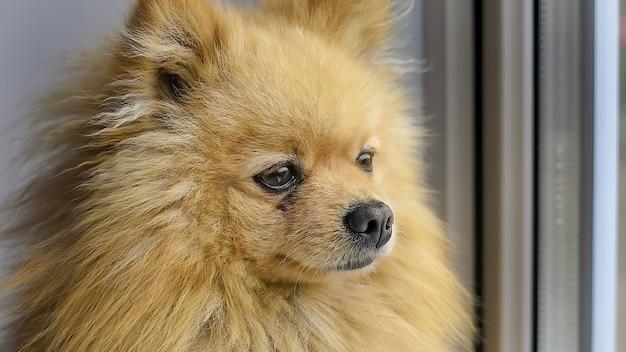 Um cão pomeranian com pêlo amarelo, olhando pela janela