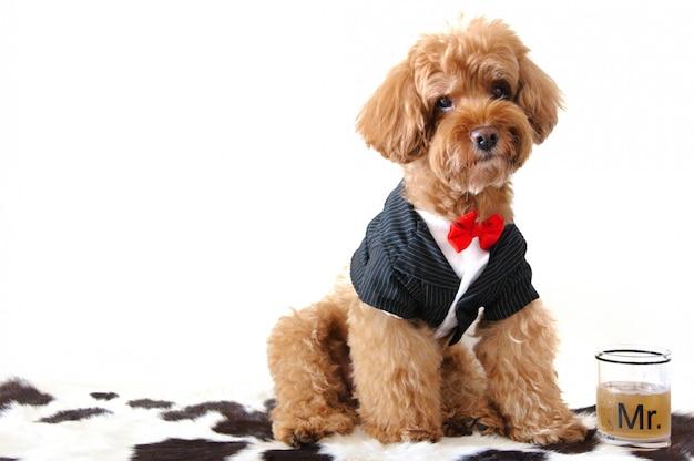 Um cão poodle marrom vestindo smoking com uma palavra de vidro