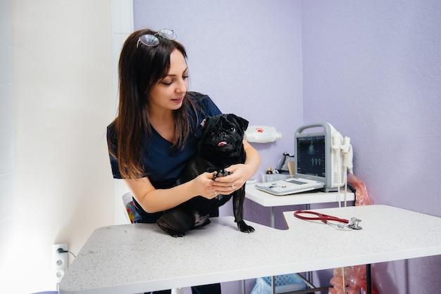 Um cão preto puro-sangue da raça dachshund é examinado e tratado em uma clínica veterinária. medicina veterinária.