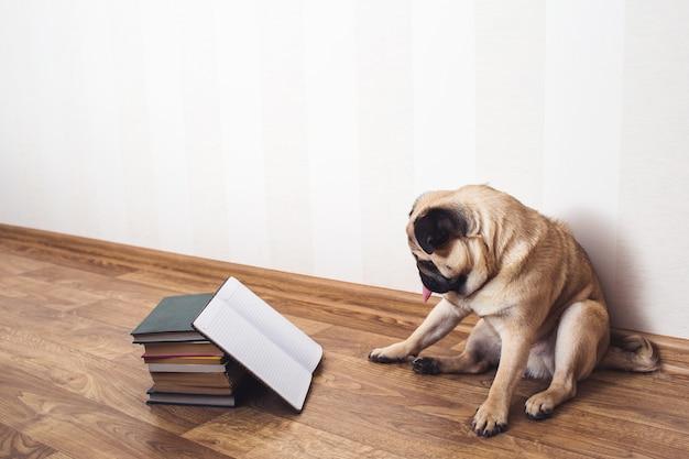 Um cão pug com a língua de fora está sentado no chão ao lado dos livros. o cachorro está lendo.
