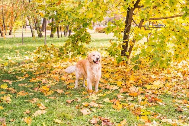 Um cão retriever parado perto de uma árvore de bordo entre folhas amarelas de outono