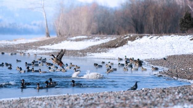 Um cão samoiedo flutua ao longo do rio siberiano que caça patos no inverno. cenário bonito.