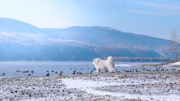 Um cão samoiedo na margem do rio siberiano caça patos no inverno. cenário bonito.