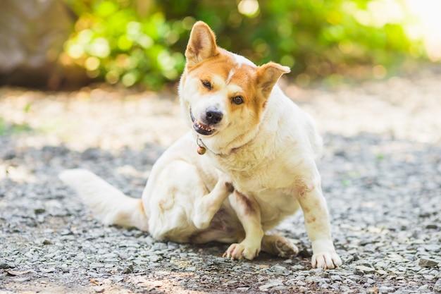 Um cão tenta coçar a pele