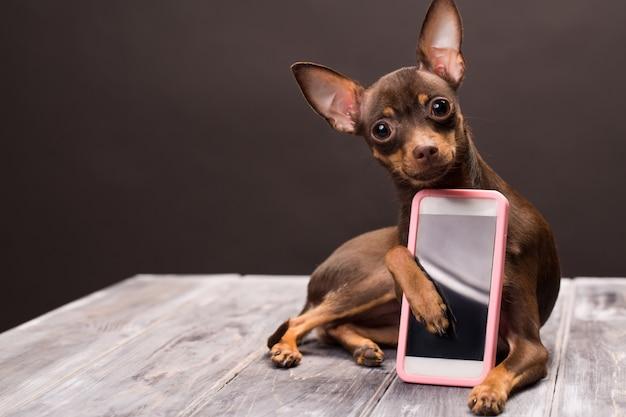 Um cão terrier russo mantém um smartphone