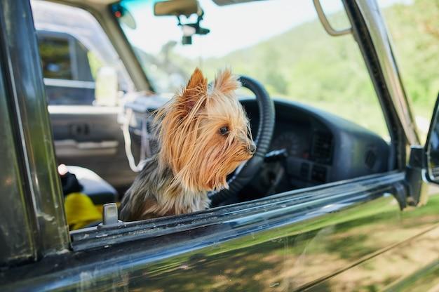 Um cão yorkshire terrier feliz com a cabeça para fora da janela de um carro em movimento.