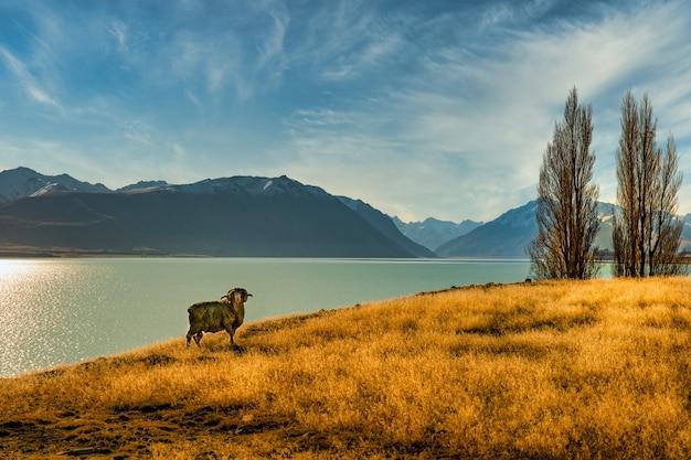 Um carneiro solitário posando para a câmera perto do lago tekapo