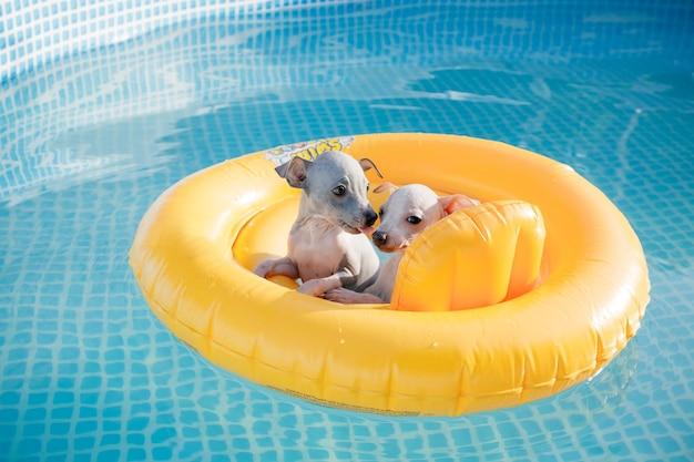 Um casal de cachorrinhos fofos (american hairless terrier) flutuando em uma piscina