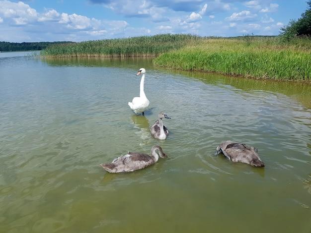 Um casal de cisnes com seus filhos família de cisnes