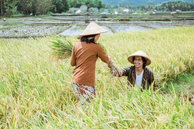 Um casal de fazendeiros asiáticos usando um chapéu enquanto colhia arroz nos campos de arroz durante o dia
